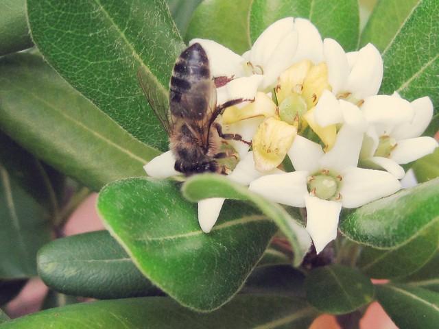 La abeja que hace el pino