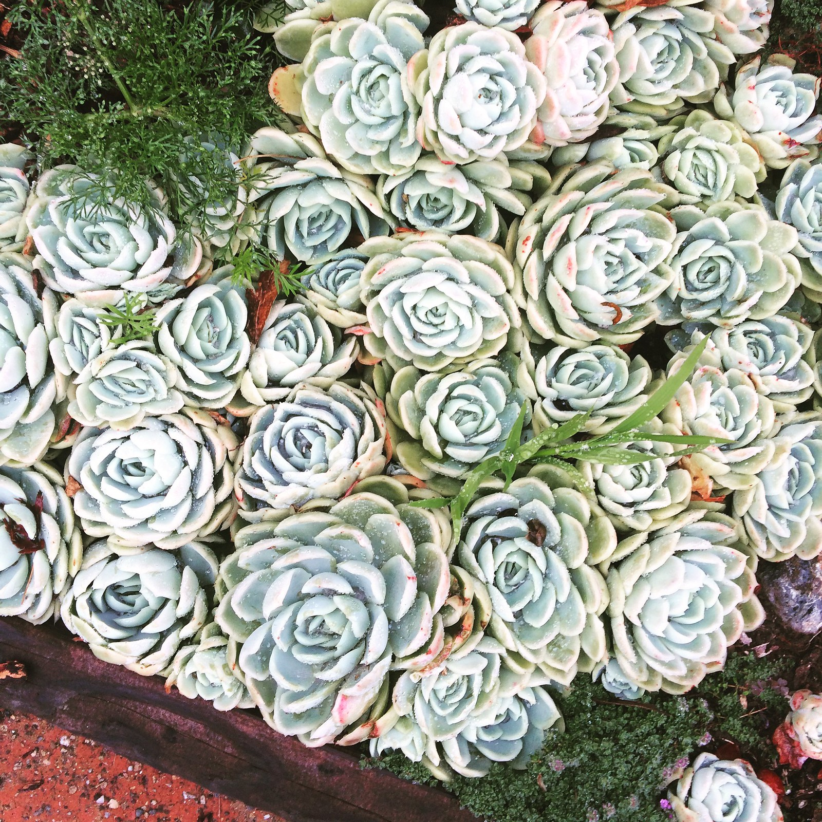 Succulents in a North Berkeley garden