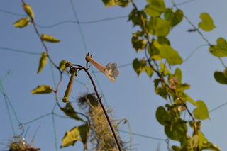 DSC_3737 Sinningia tubiflora シンニンギア 上海の女王 Hardy White Gloxinia