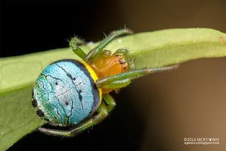 Orb weaver spider (Araneus sp.) - DSC_8978