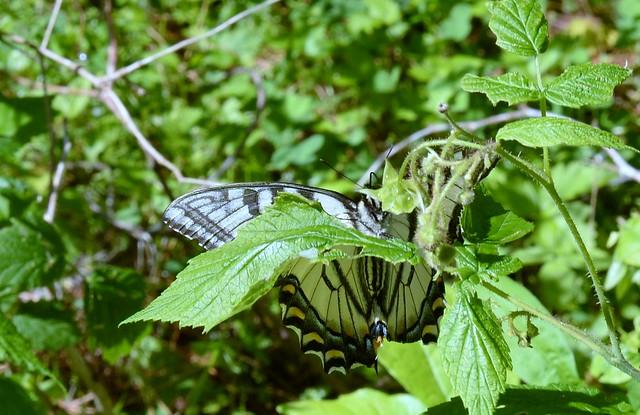 Peek-a-boo Butterfly