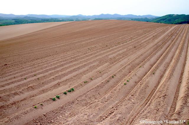 ジャガイモ畑の畝2