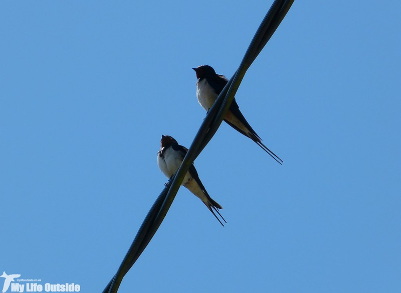 P1120684 - Swallows, Landimore