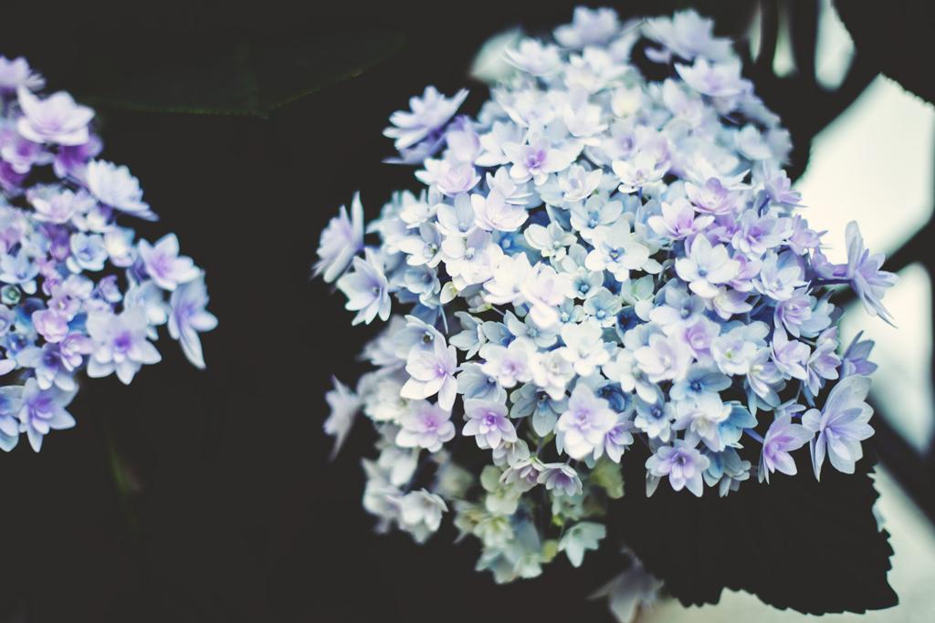 307/365 - hydrangea love