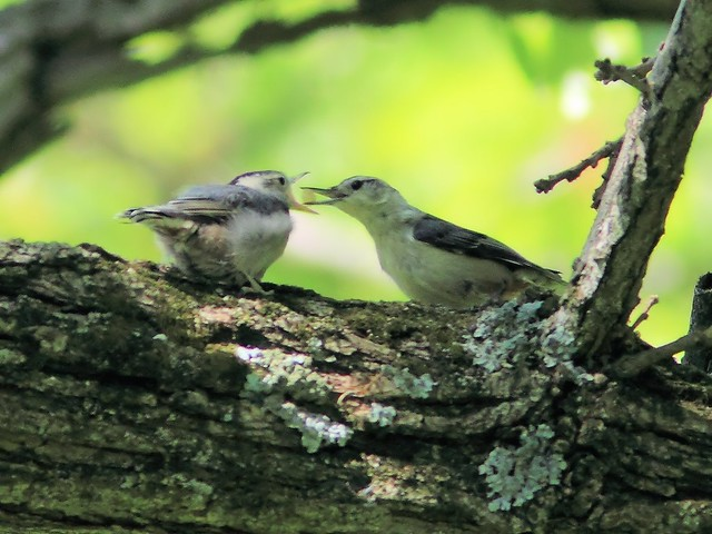 White-breasted Nuthatch feeding fledgling 20150521