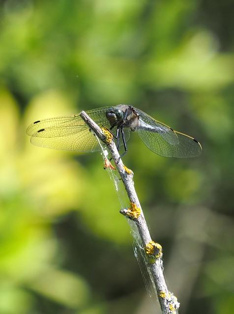 Ważka / Odonata / Libelle