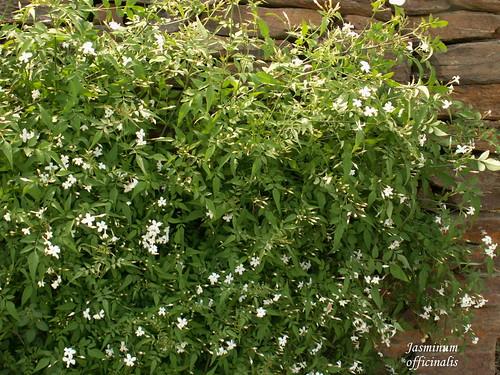 Jasminum officinalis