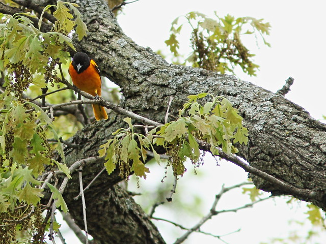 Baltimore Oriole in oak tree 20150514
