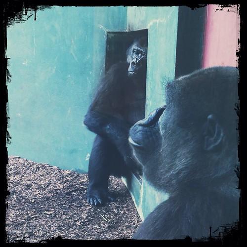 Gorillas at the Toledo Zoo