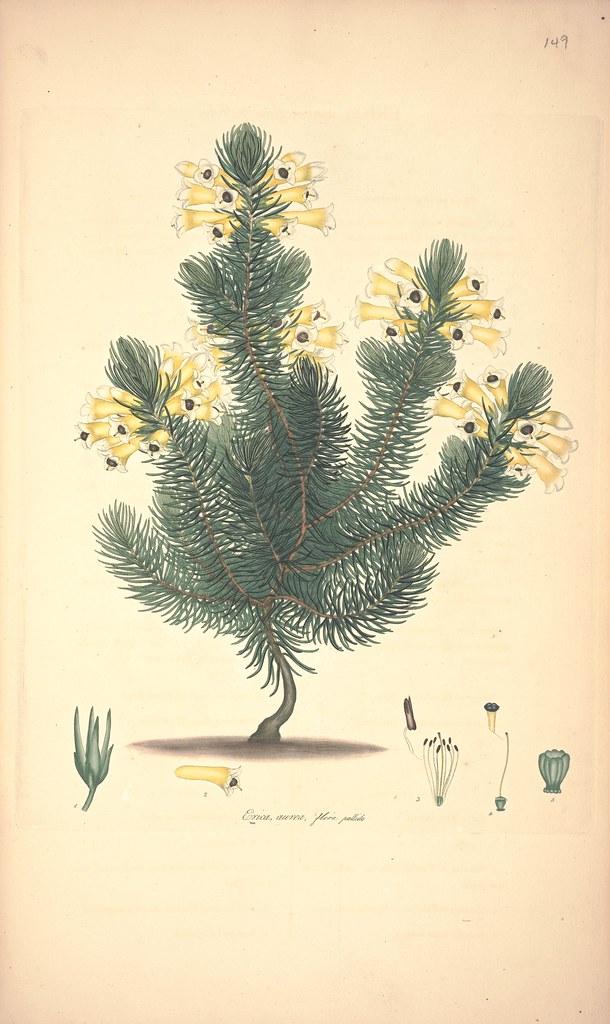 Erica aurea, flore pallida