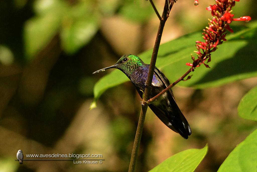 Picaflor zafiro (Fork-tailed woodnymph) Thalurania furcata