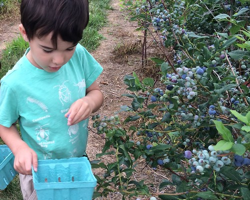 Blueberry Picking 2016