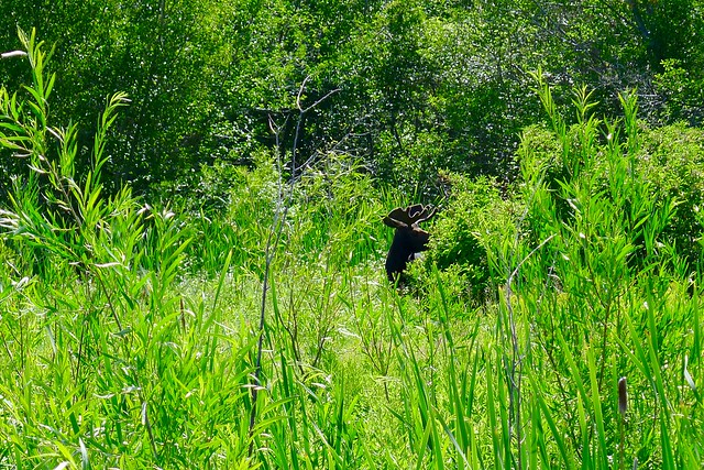 A moose standing in a wetland.
