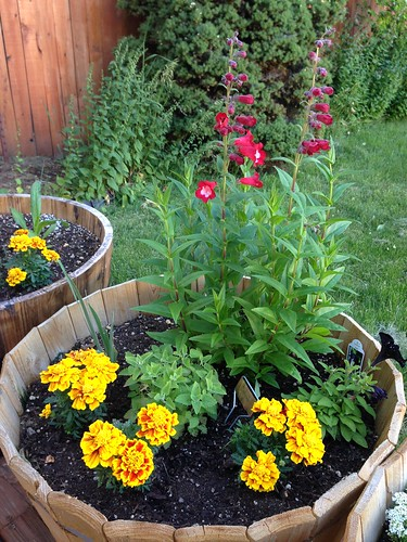 Penstemon and marigolds