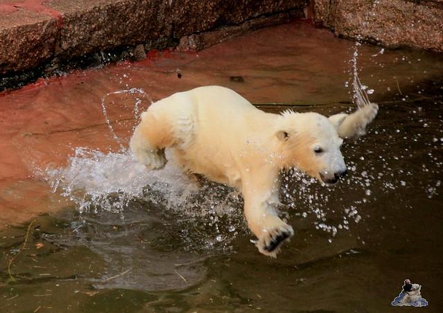 Eisbär Fiete im Zoo Rostock 03.05.2015  18