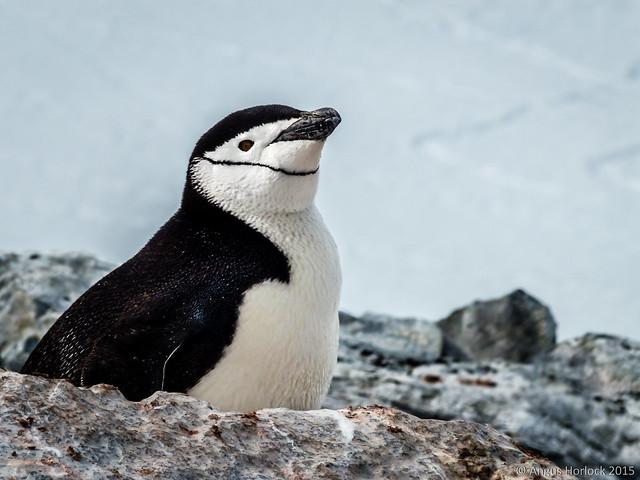 Chinstrap Penguin, Orne Harbour, Antarctica