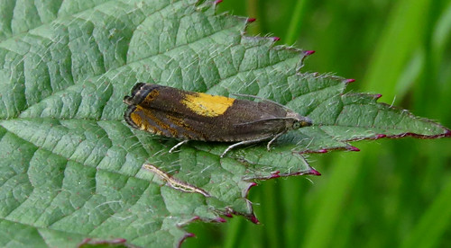 Dichrorampha alpinana Tophill Low NR, East Yorkshire May 2015