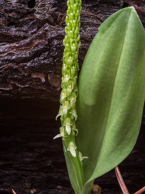 Chirichaua Adder's-mouth orchid