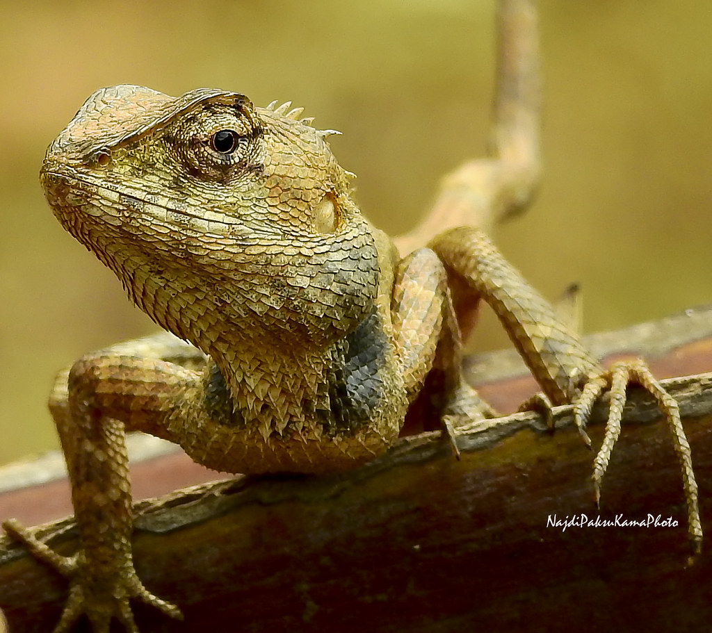 Golden Garden Lizard | Nikon Coolpix P900 | najdi subhi | Flickr