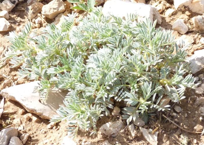 Astragalus granatensis 17736071226_6741b6faaf_o