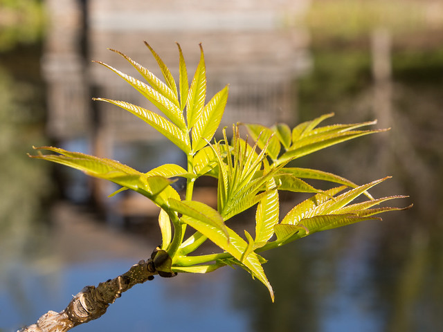 new leaves by the pond