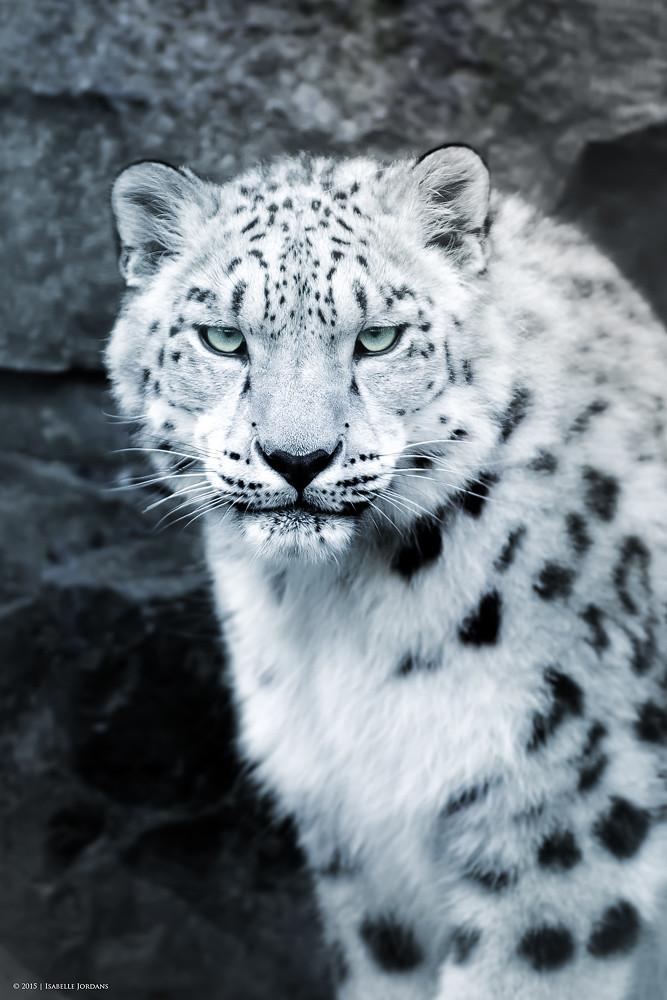 Schneeleopard Portrait...