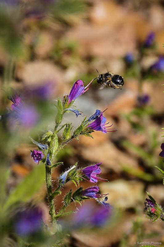 Una abeja directa a una flor