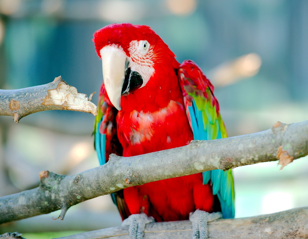 Green Winged Macaw_2