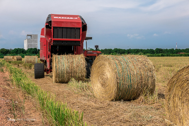 Truck unloading bales of hay in paddy field after harvest