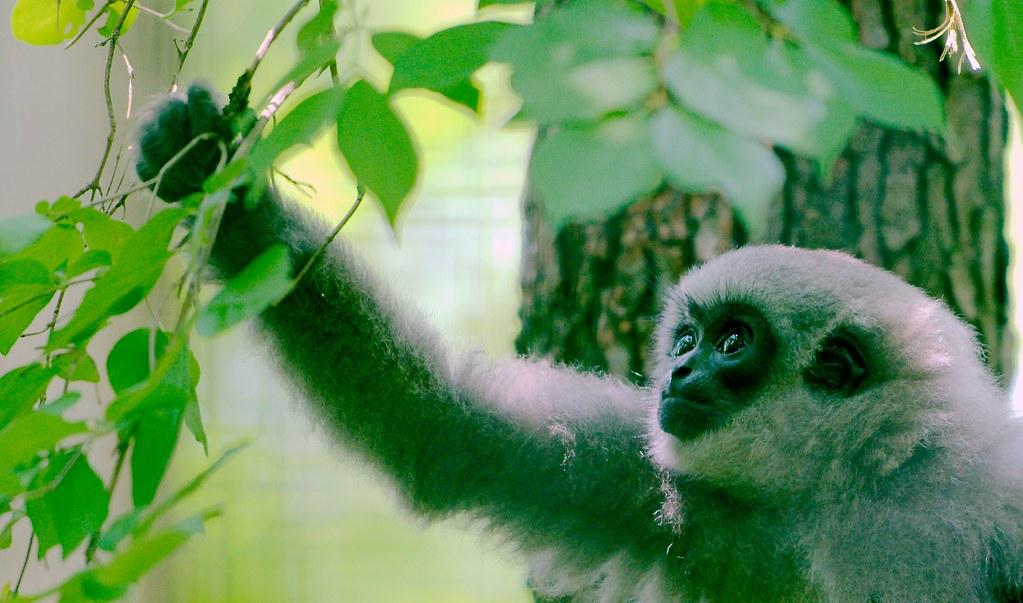 Javan Gibbon_24