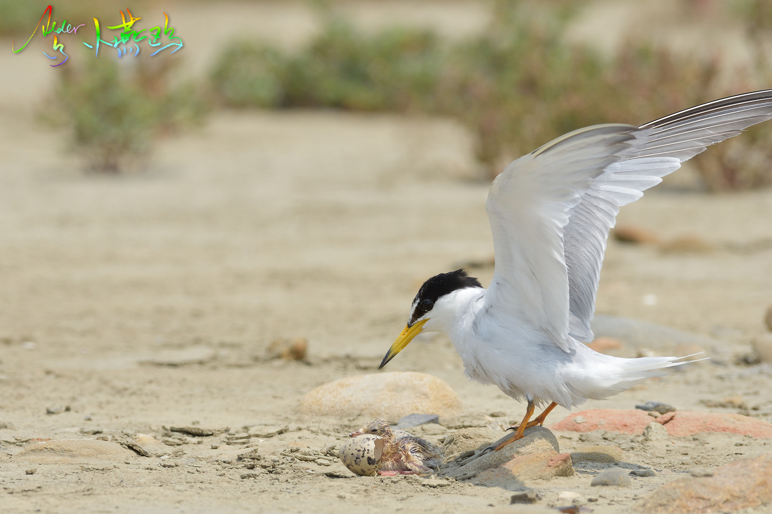 Little_Tern_5284