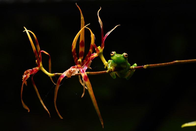 Hypsiboas cinerascens in Cuyabeno, Ecuador.