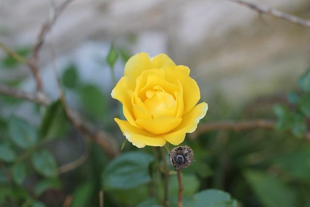 the rogue rosebush is again in bloom