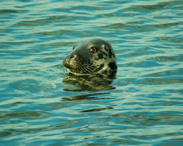 20150526-085_Seal_Howth Harbour