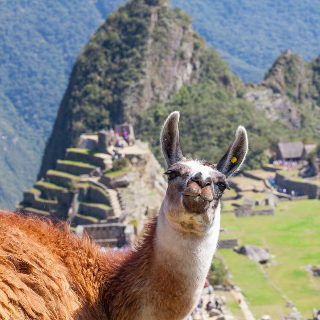 llama loving  peru