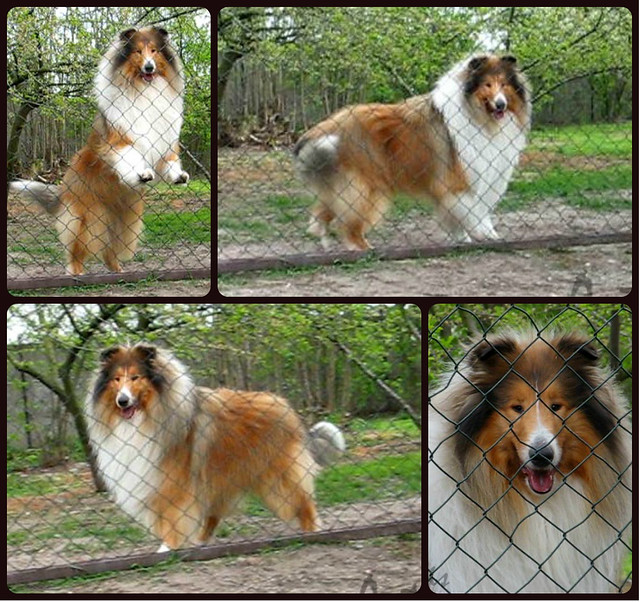 OBELIX Actis rough collie stud dog champion