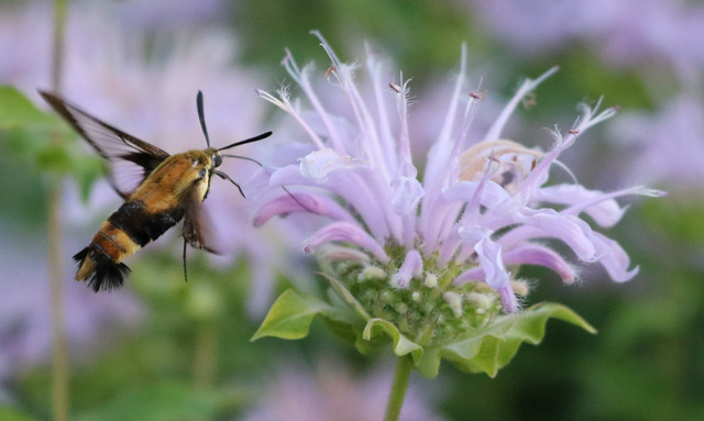 moth to the left of a bee balm, with its proboscis extending two inches into the flower tube
