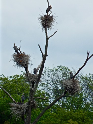 Great blue heron nests