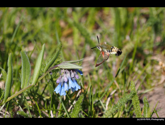 Rocky Mountain Clearwing Moth (Hemaris thetis) visiting Mertensia fusiformis