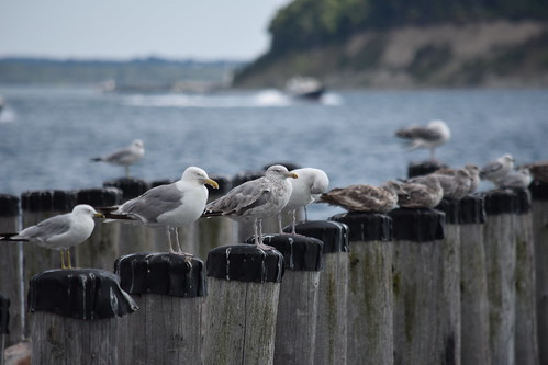 Seagulls of Georges Island