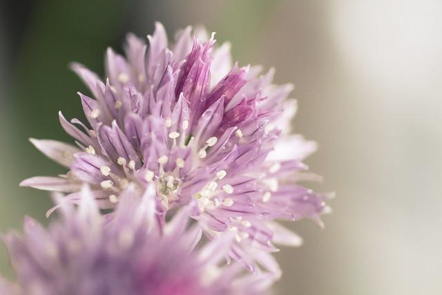 01.06.2015 Allium schoenoprasum