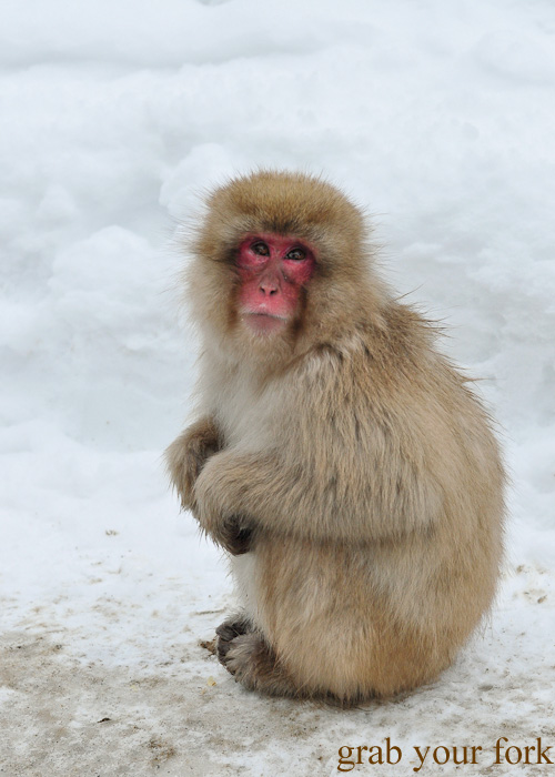 Snow monkey in the snow at Jigokudani Monkey Park, Nagano