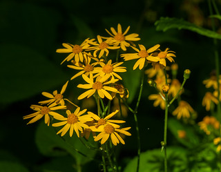 Golden Ragwort (Packera aurea) | by wackybadger