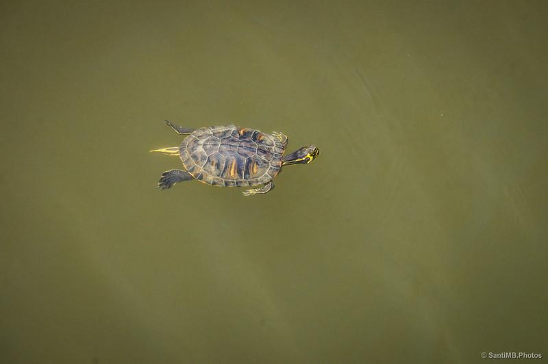 Una tortuga de California que no debería estar aquí