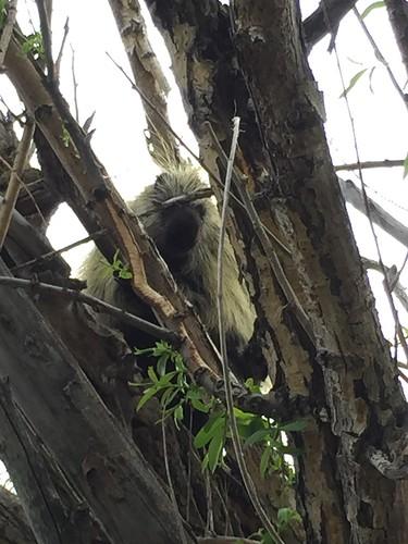 Porcupine at Camas.  5/23/15