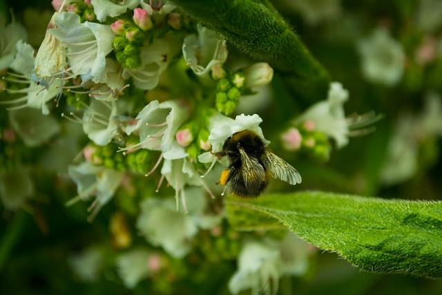 20150523-11_Echium Pininana Plants - Bumble Bee Magnet