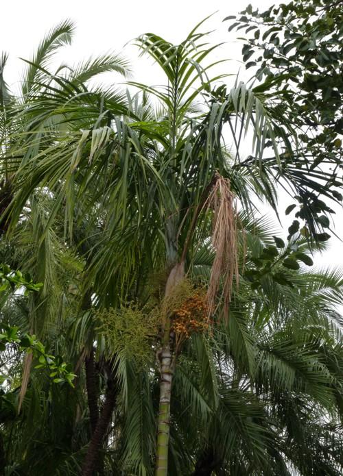 Carpentaria acuminata 18366976718_5044ecfec7_o