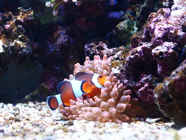 P9060209 公子小丑 紅奶嘴海葵