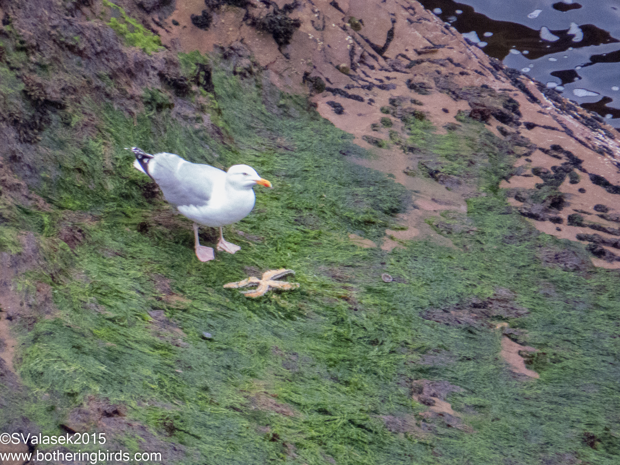 Herring Gull and Sea-star