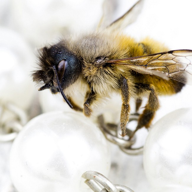 Instagram, Monatsrückblick Mai, Makrofotografie Honigbiene
